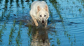 Alka, White Swiss Shepherd